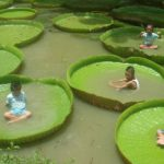 La Victoria amazonica, une belle plante aquatique