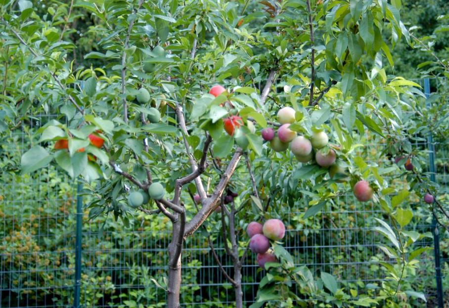 L'arbre aux quarante fruits, une merveille