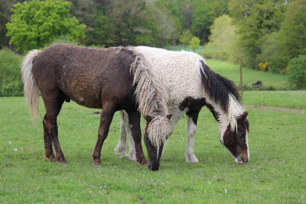 Le curly, une race de chevaux
