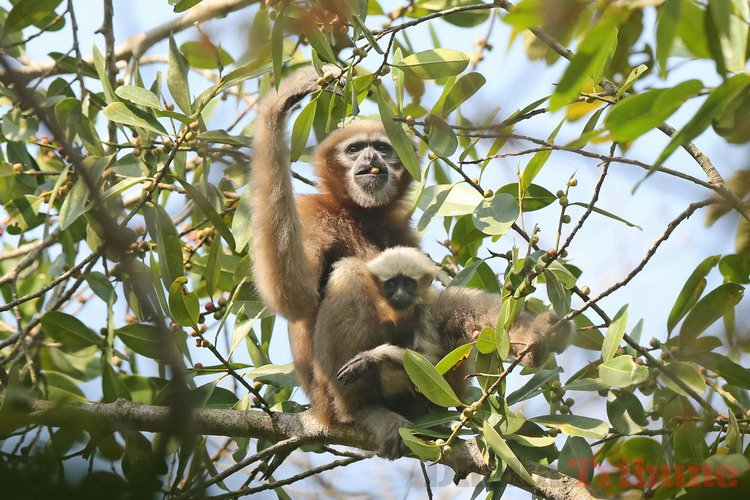 Le gibbon hoolock Skywalker, une nouvelle espèce de gibbon découverte en Chine