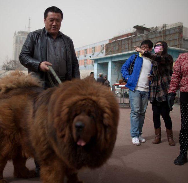 Le Mastiff tibétain, un chien d'une grande taille