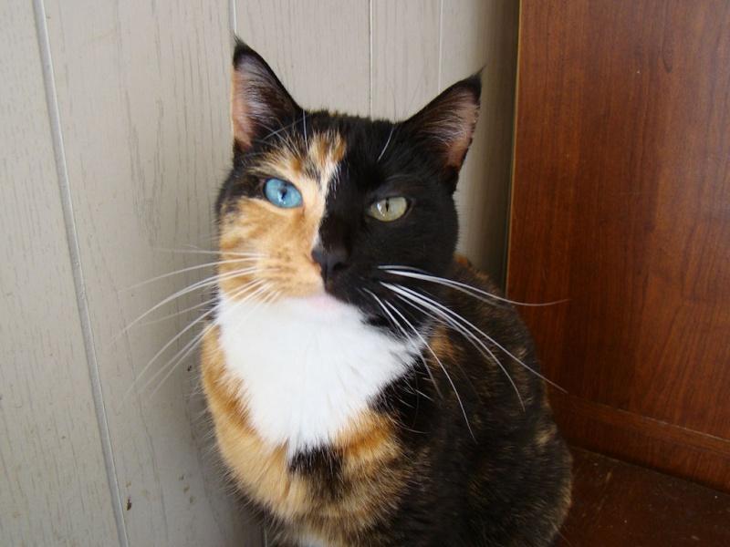 Les chats chimères, ces splendides et rares félins!