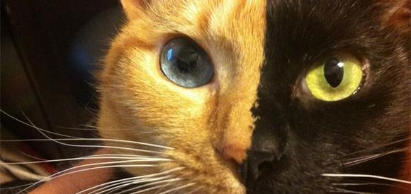 Les chats chimères les plus drôles