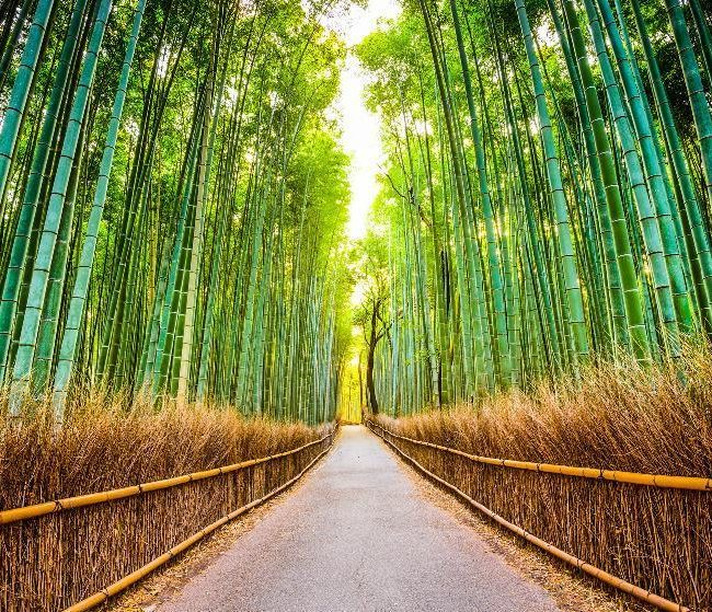 La bambouseraie d'Arashiyama au Japon