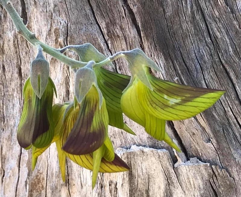 Une fleur à l'apparence du colibri, c'est spectaculaire!