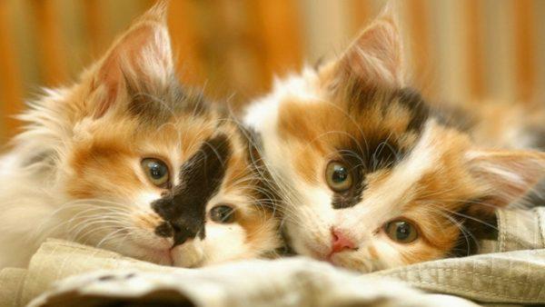 Adorables chats Chinois et une belle chanson