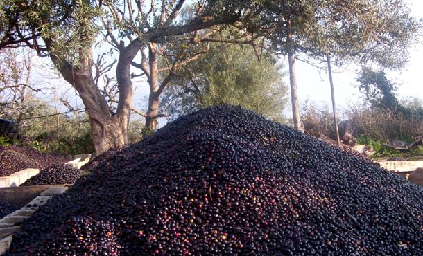 La cueillette des olives entre passé et présent