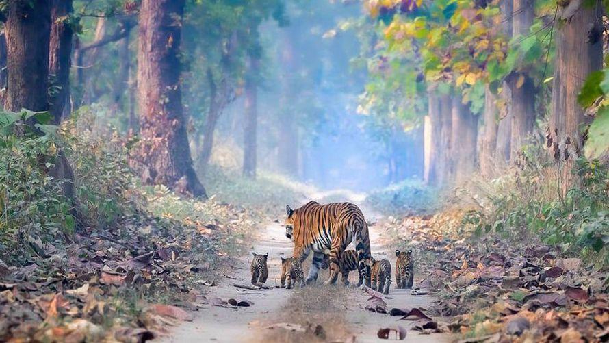 Une tigresse et ses cing bébés en Inde