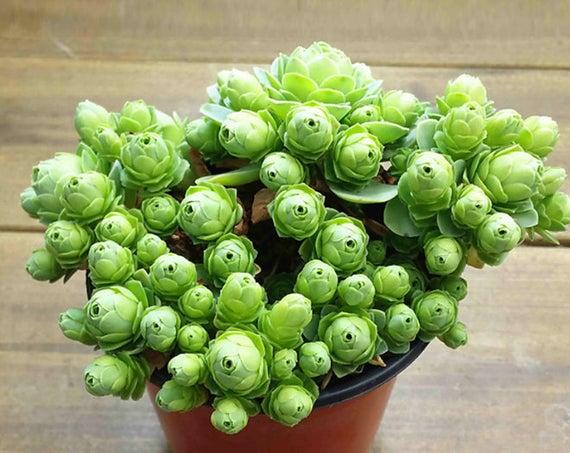 Des succulentes ou des roses, cette plante est les deux à la fois!