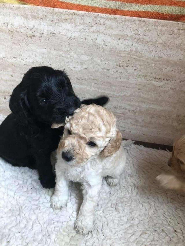 La rencontre de deux chiens après une longue séparation