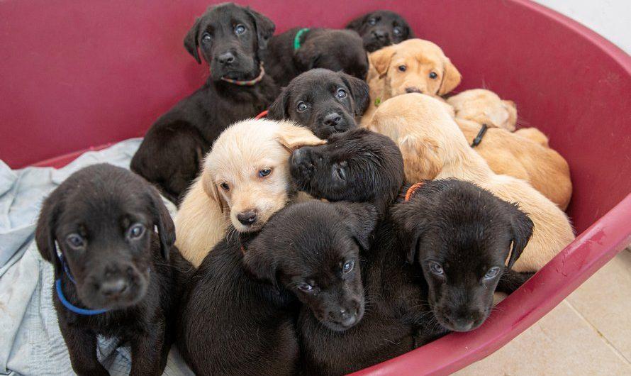 14 chiots Labrador en une seule portée, un record!