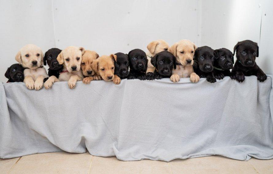 14 chiots Labrador, une jolie portée