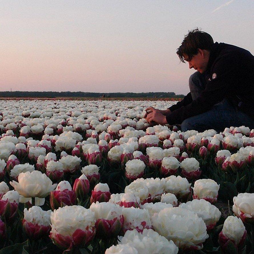 Des tulipes crème glacée,de jolies fleurs!
