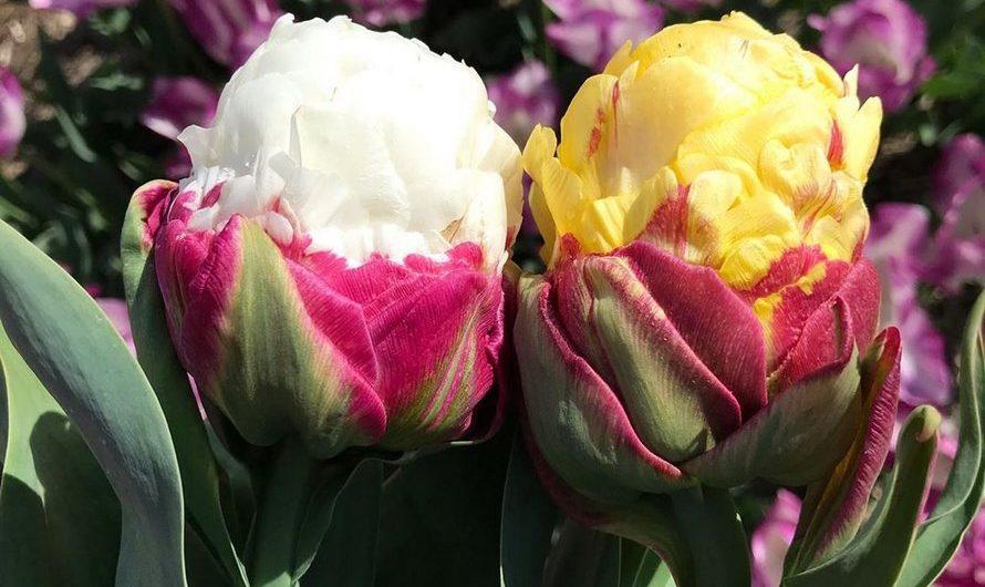 Des tulipes crème glacée, de jolies fleurs très surprenantes!