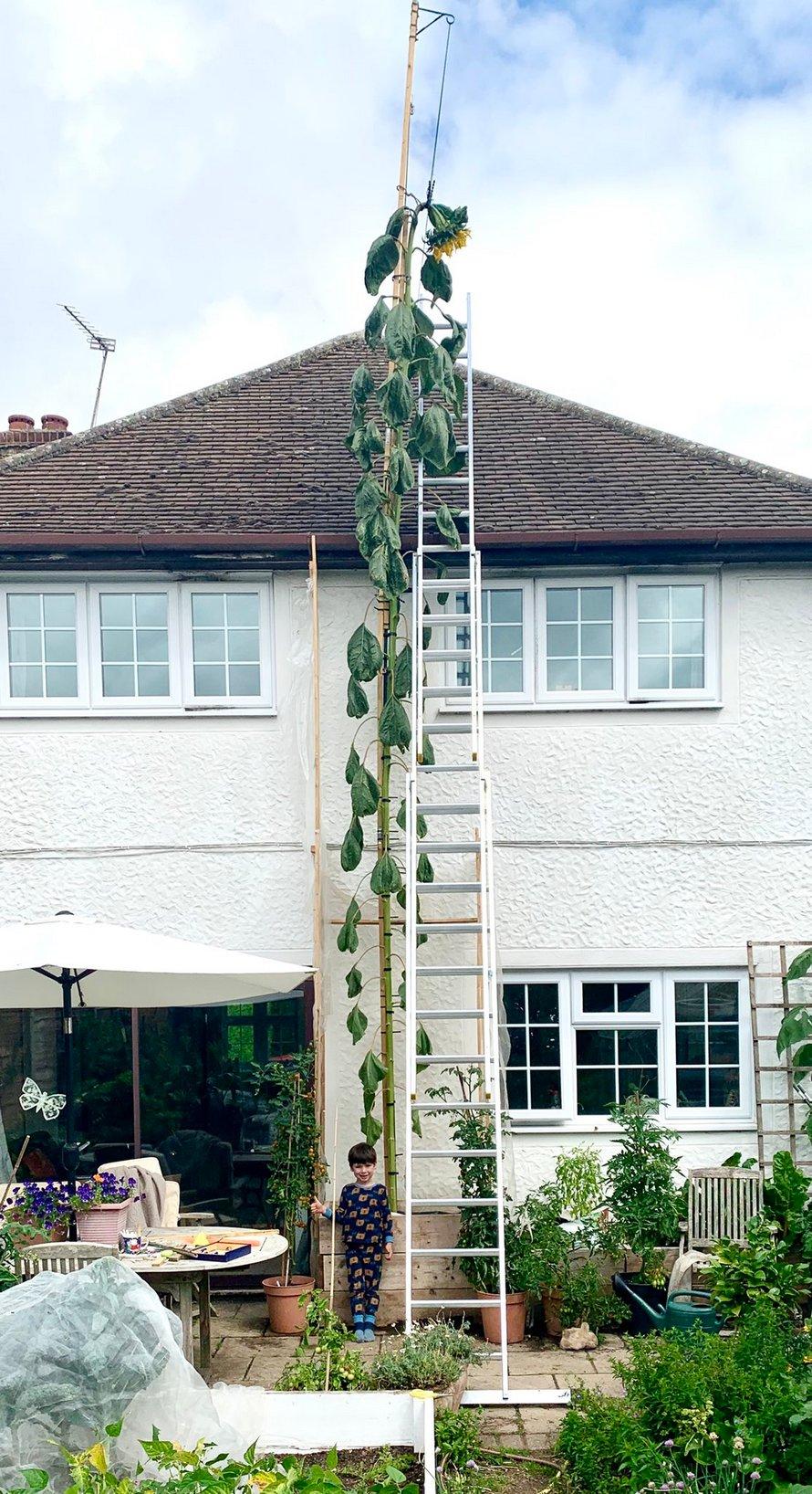 Un tournesol géant qui dépasse sa maison