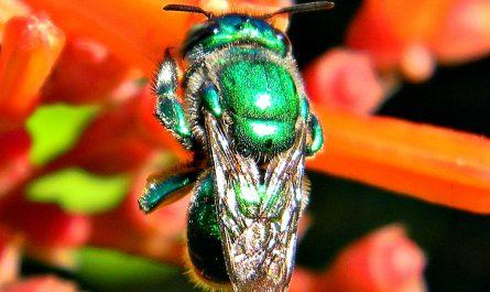 Une abeille verte de toutes beautés