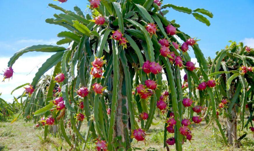 Le fruit du dragon (pitaya), une belle découverte!