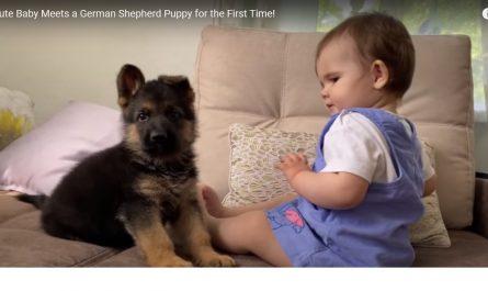 Un chiot et un bébé font connaissance