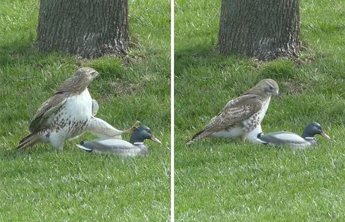 Un faucon attaque un canard très courageux!