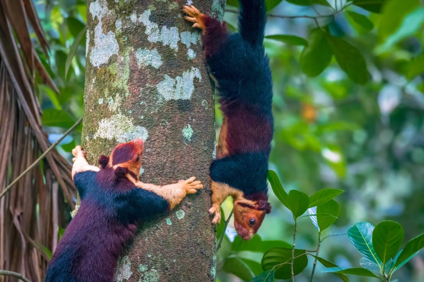Écureuil géant de l'inde, c'est l'écureuil Malabar